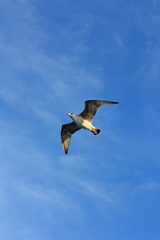 Free Seagull Stock Photos - 16083633