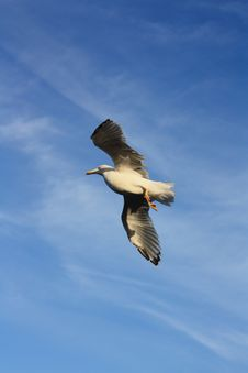 Free Seagull Stock Photo - 16083650