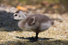 Free Gosling Stock Photography - 16084892