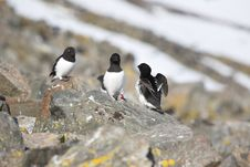 Free Arctic Bird With Ring (Little Auk) Stock Photos - 16085153