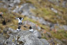 Free Arctic Birds (Little Auk) Stock Photos - 16085223
