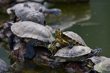 Free Red-Eared Sliders Royalty Free Stock Photography - 16085387