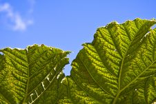 Free Large Plant Green Leaf And Sky Stock Images - 16085834
