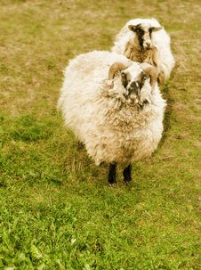 Free Cute Sheep Royalty Free Stock Photo - 16085995