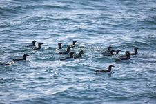 Free Sea Birds On The Ocean Waves Stock Images - 16086134