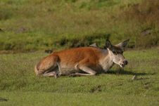 Free Red Deer Lying Down Stock Images - 16087244