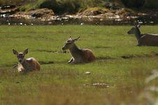 Red Deer Herd Stock Image