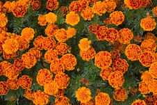 Free Background Of Orange Flowers Stock Photography - 16088402