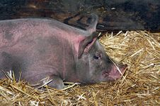 Free Pig Resting Royalty Free Stock Photo - 16088885