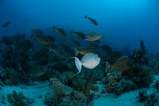 Free Schooling Unicorn Fish, Red Sea, Egypt. Royalty Free Stock Photo - 16089795
