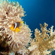 Free Clown Fish Royalty Free Stock Image - 16089846
