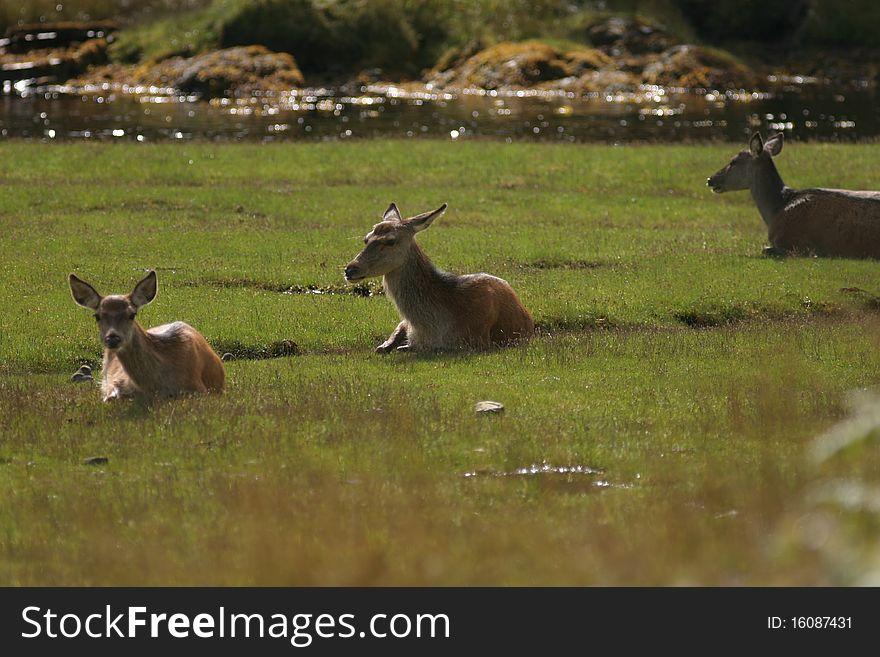 Red Deer Herd