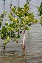 Free Mangrove Stock Photo - 16095880