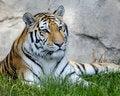 Free Amur Tiger Stock Photos - 16096013