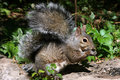 Free Eastern Gray Squirrel Royalty Free Stock Image - 16099646