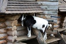 Free Goat Royalty Free Stock Photos - 16090688