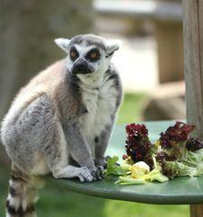Free Lemur Stock Photography - 16092332