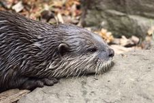 Free Otter Royalty Free Stock Photography - 16092417