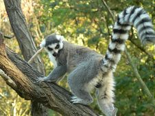 Free Lemur Climbing A Tree (Lemur Catta) Royalty Free Stock Photos - 16092648