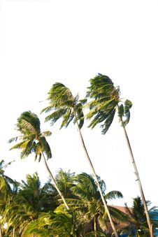 Free Coconut Palm Trees Royalty Free Stock Photography - 16092787