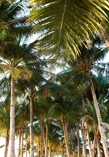 Free Coconut Palmtree Forest Royalty Free Stock Photography - 16092857
