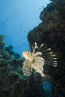 Free Tropical Common Lionfish. Royalty Free Stock Image - 16093196