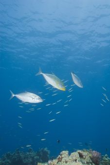 Free Small Group Of Yellow-dotted Trevally. Stock Photos - 16093223