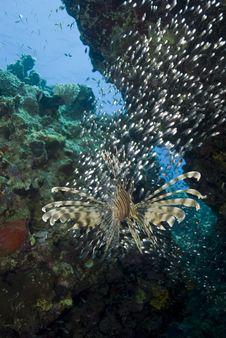 Tropical Common Lionfish, Rear View. Stock Image