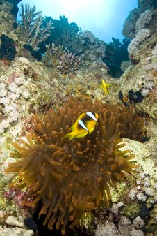 Free Couple Of Clownfish With Their Anemone. Stock Photo - 16093430