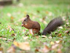 Free Eating Squirrel Stock Photo - 16093740
