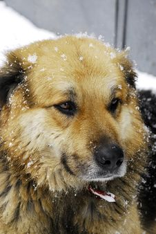 Free Street Dog Snow Look Royalty Free Stock Photos - 16093808