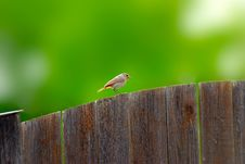 Common Redstart Royalty Free Stock Photography
