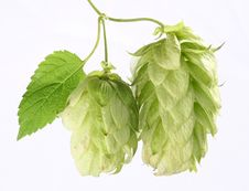 Free Branch Of Hops Stock Images - 16094164