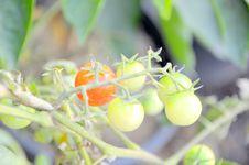 Free Tomato Stock Image - 16095251