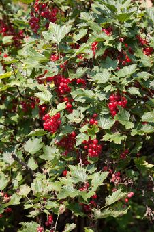 Free Red Currant Bush Royalty Free Stock Photos - 16095498