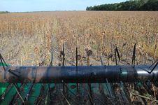 Free Sunflower Harvesting Stock Photos - 16095613