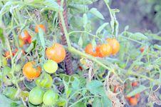 Free Tomato Garden Royalty Free Stock Images - 16095999