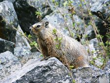 Free Marmot Royalty Free Stock Photography - 16096147