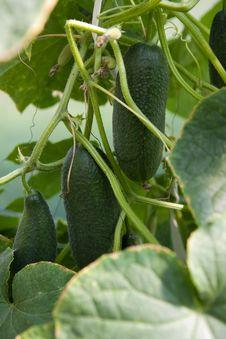 Free Organically Grown Cucumbers Stock Photo - 16096820
