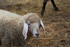 Free Sheep Royalty Free Stock Photography - 16096997