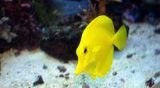 Free Yellow Tang Royalty Free Stock Photo - 16097015