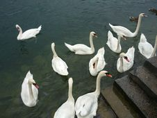 Free Lake Luzern Swans Royalty Free Stock Photography - 16097387
