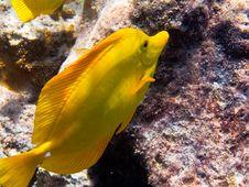 Free Yellow Tang Stock Image - 16098561