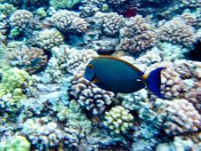 Free Blue Tang Royalty Free Stock Images - 16098579