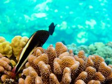 Free Small Fish In Coral Royalty Free Stock Photo - 16098585