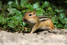 Free Eastern Chipmunk Royalty Free Stock Image - 16099346