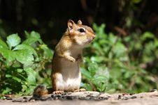 Free Eastern Chipmunk Stock Photos - 16099553