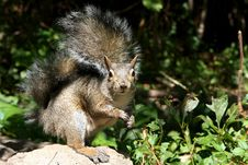 Free Eastern Gray Squirrel Stock Photography - 16099652
