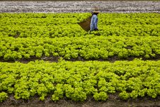 Free Lettuce Field Royalty Free Stock Photography - 16099907