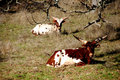 Free Watussi Cattle Resting Stock Photos - 1612843